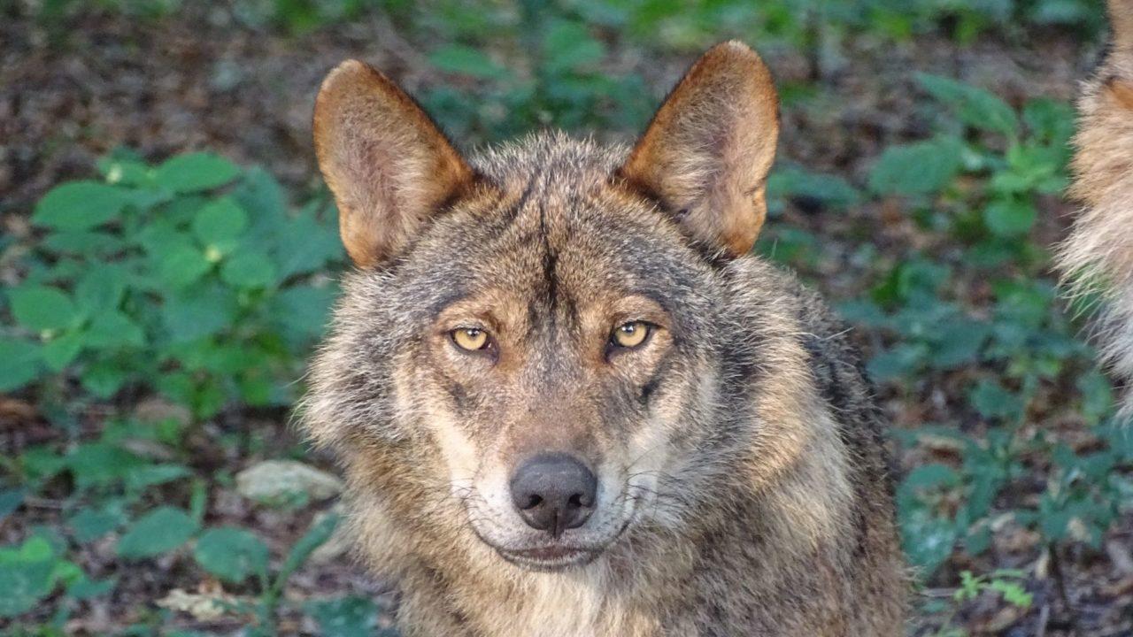 gestión del lobo