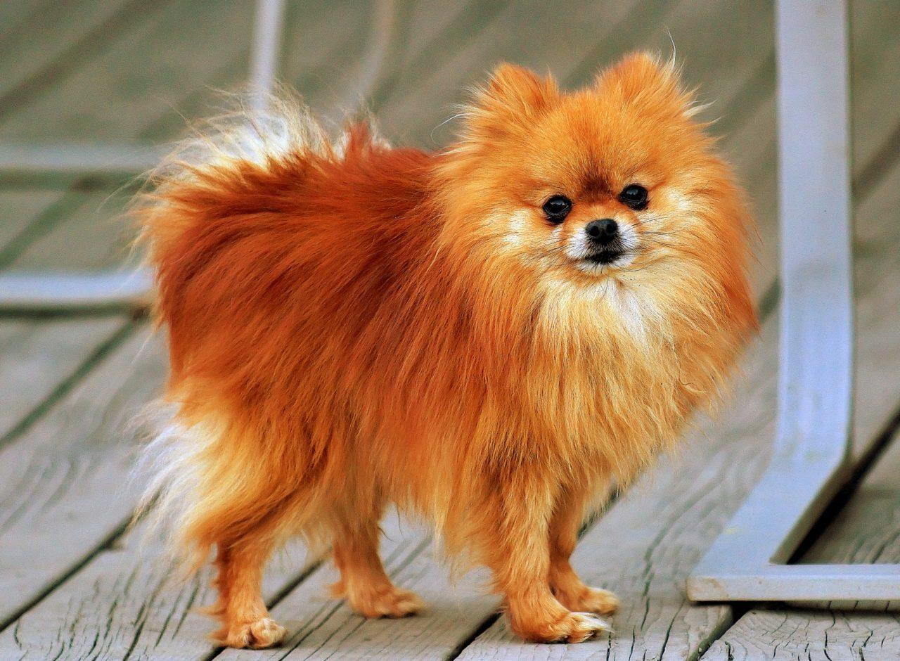 Perro Pomeranian